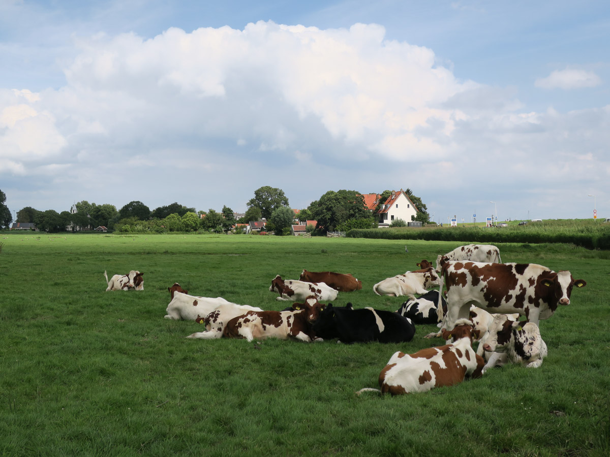 cows in waterland